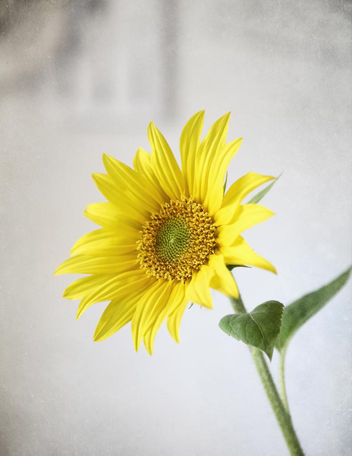 Sunrose2