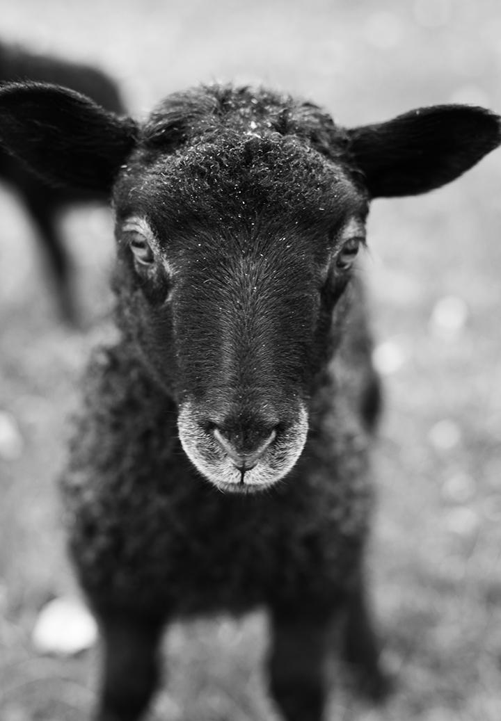 lamb_02