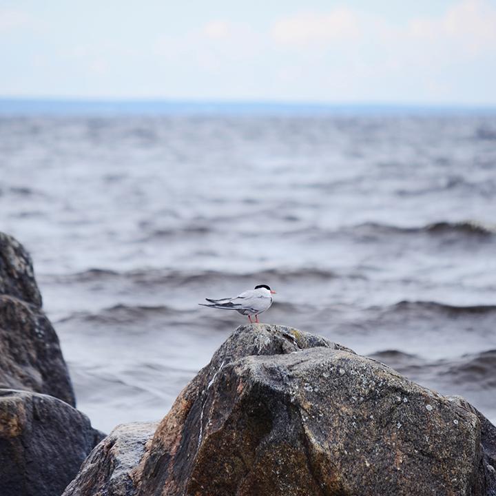 Rullsand_bird_720