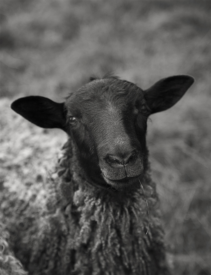 sheep_3_720